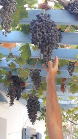 Narkissos Studios: il pergolato con l'uva