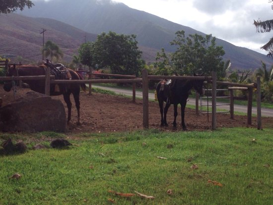 Lahaina Stables: Simple ride, easy for my partner (who'd only ridden a horse once). Fun, quality guide (Alison) a