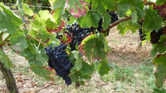 Gaesthaus Oswald: Weintrauben aus der Pfalz