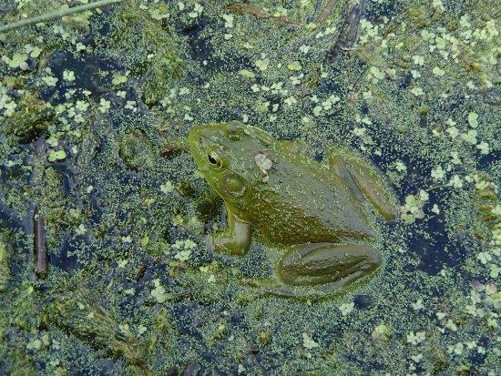 วาเลนไทน์, เนบราสก้า: Bull frog in Hackberry Lake, Valentine NWR