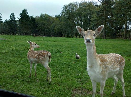 Sequim, Ουάσιγκτον: some cute deer at Olympic Game Farm