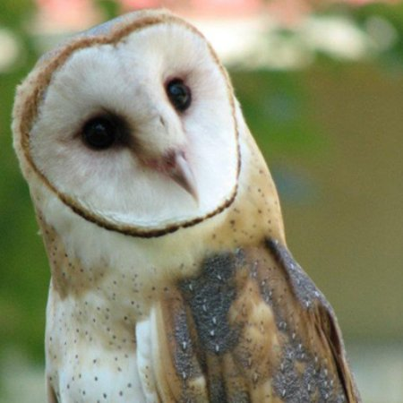 Quechee, VT: Barn Owl at VINS