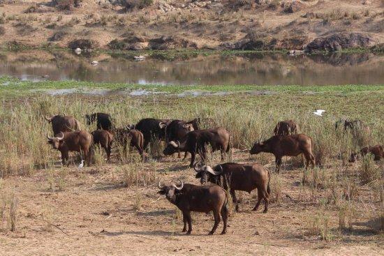 Morgens eine Herde von ca. 50-60 Wasserbüffeln - Picture of ...   {Herde 38}