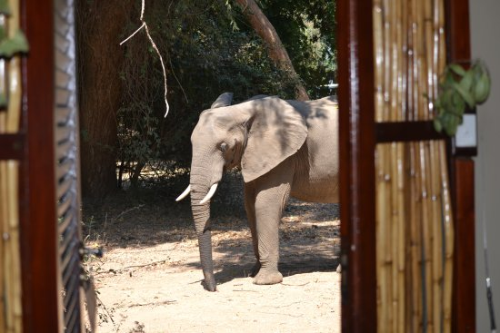 Lower Zambezi National Park, Zambia: Look who stopped by one afternoon......