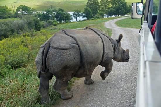 Cumberland, OH: rhino crossing in front of our open air bus