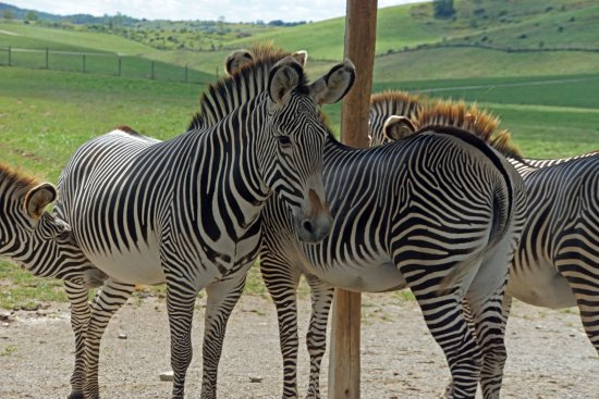 Cumberland, OH: These zebras have very unique stripes.