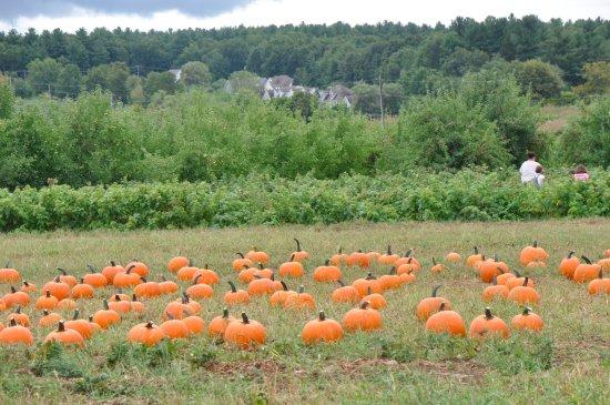 Hampton Falls, NH: Pick your pumpkins.