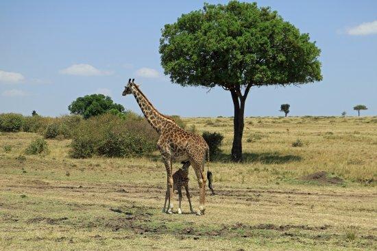 Fairmont Mara Safari Club : giraffe nursing its young on the Mara