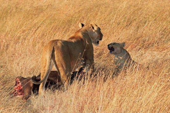 Fairmont Mara Safari Club: lioness and her cubs sharing a kill