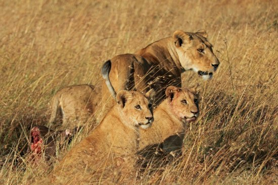Fairmont Mara Safari Club: lioness and her cubs