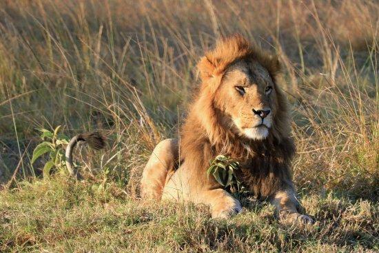 Fairmont Mara Safari Club: The King of beasts