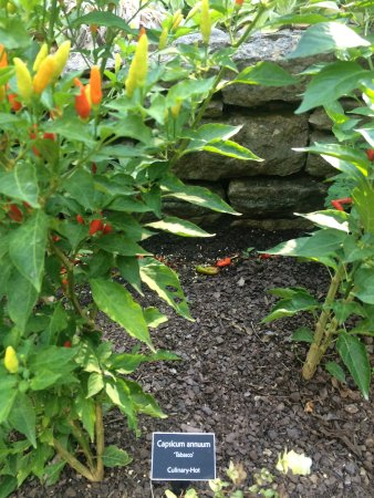 Cheekwood Botanical Gardens & Museum of Art: Tabasco peppers, yum!