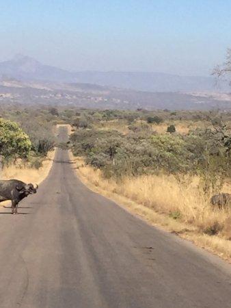 White River, África do Sul: Wild game crossing!