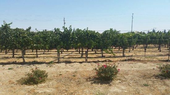 Garre Vineyard and Winery: Garre Vineyard Sept 2016
