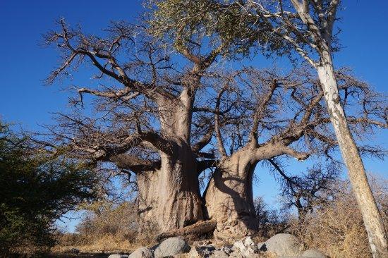 Makgadikgadi Pans National Park, Botswana : Baobab