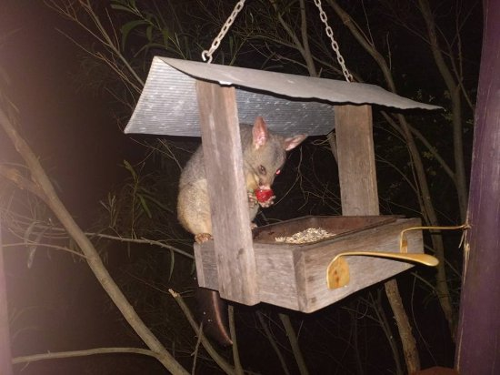 Vacy, Australia: our nightly visit from friendly possum
