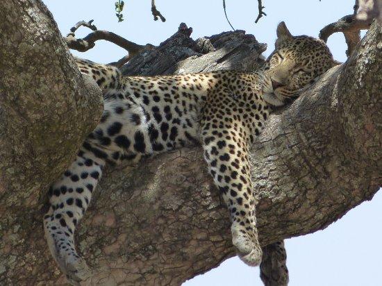 Regio Arusha, Tanzania: Leopard snoozing - Serengeti