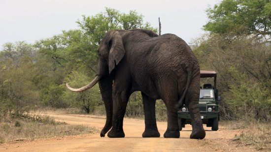 Hazyview, Afrika Selatan: Game Drive on Kruger Park Safari - Sighting of a big Elephant Bull