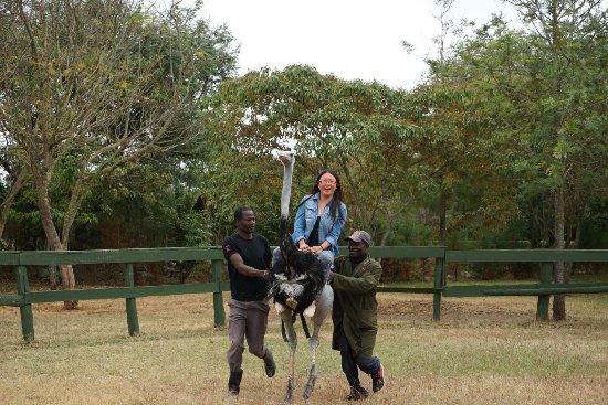 Maasai Ostrich Resort: Riding ostrich!