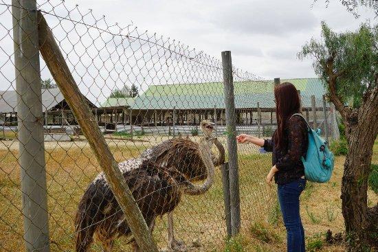 Maasai Ostrich Resort: Feeding young ostrich
