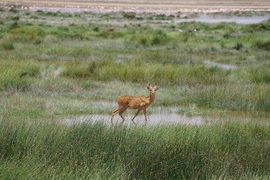 Amboseli National Park, Kenia: Water buck in the swamps