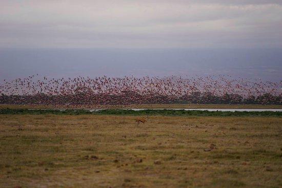 Amboseli National Park, Kenia: Flamingos in flight!