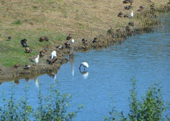 Gautegiz Arteaga, Spanien: Spoonbill, egrets, and ducks