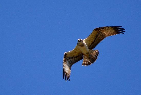 Gautegiz Arteaga, Spanien: Osprey