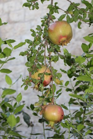 Magas House Jerusalem Vacation Accommodation: Pomegranate tree laden with fruit