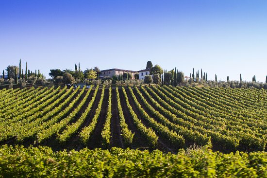 Agriturismo Le Gallozzole: The vineyards that lead to this Agriturismo.