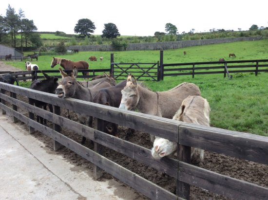 ‪‪Douglas‬, UK: Donkeys at the home for horses.‬