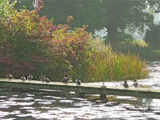 Glansevern Hall Gardens: Ducks sunning themselves.