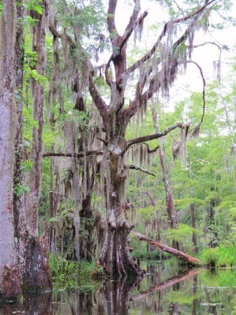 Slidell, LA: One of the most interesting trees there.