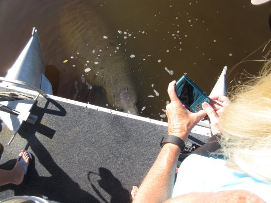 Merritt Island, Floryda: Able to photograph a manatee up close