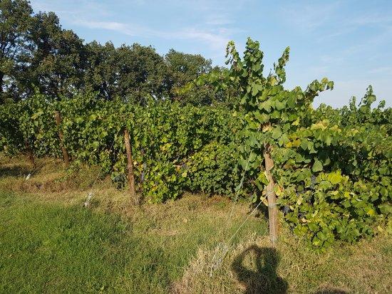 Albinea, Italia: Omgeven door akkers en druivenranken