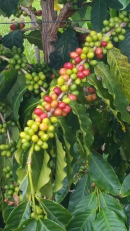 Kealakekua, Havaí: Coffee beans