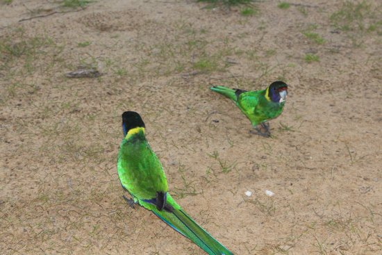 Taunton Farm Holiday Park: Australian ringneck parrots, very friendly