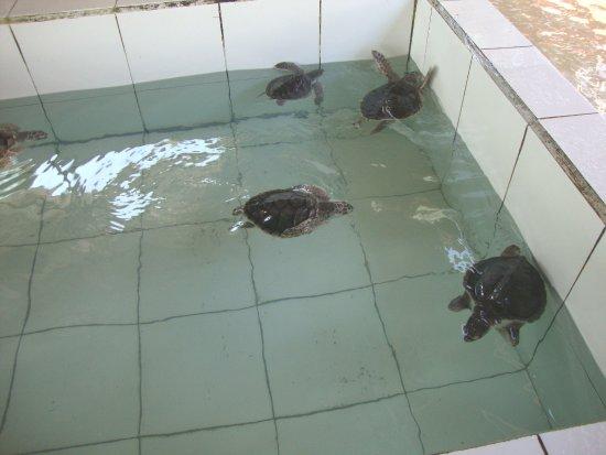 Bali Turtle Conservatory: Penyu