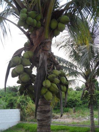 Hotel Aqua Spa & Resort: Beautiful coconut tree