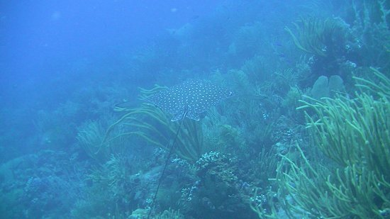 Casa del Mar Scuba Diving: Spotted Eagle Ray