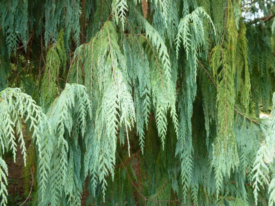 Combrit, Francia: Cupressus Cashmeriana, Parc Botanique de Cornouaille