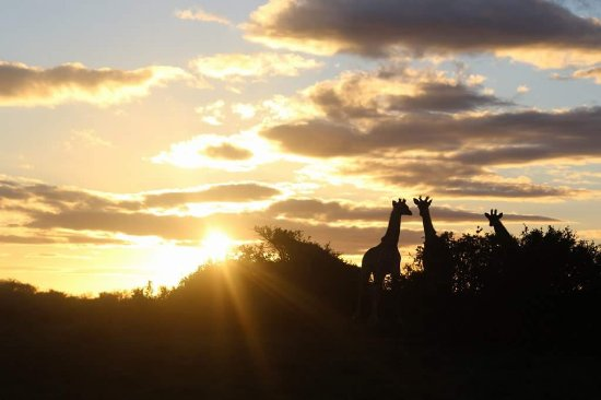 Shamwari Game Reserve, South Africa: A shot of the Giraffes while we had evening drinks out inthe bush at sunset.