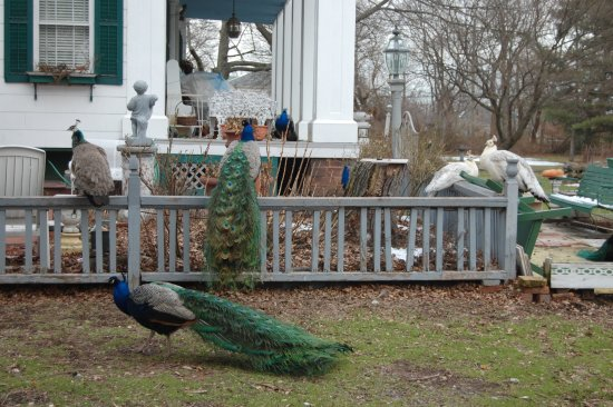 Staten Island, Nowy Jork: Peacocks stroll the grounds