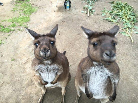 Healesville, ออสเตรเลีย: kangaroos up close!