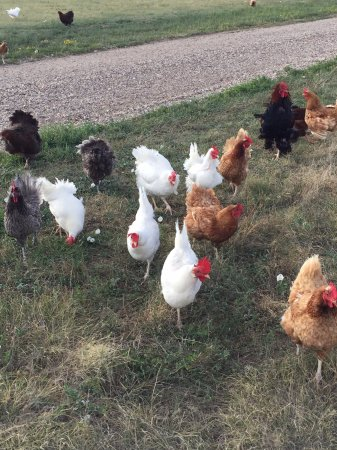 Circle View Guest Ranch: Chicken stampede