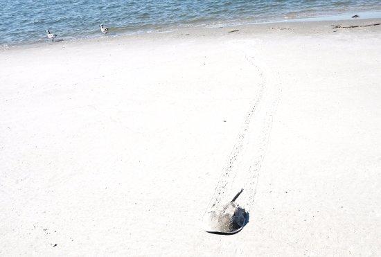 Folly Beach, SC: a horseshoe crab