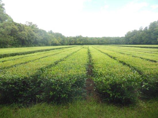 Wadmalaw Island, SC: Tea plants