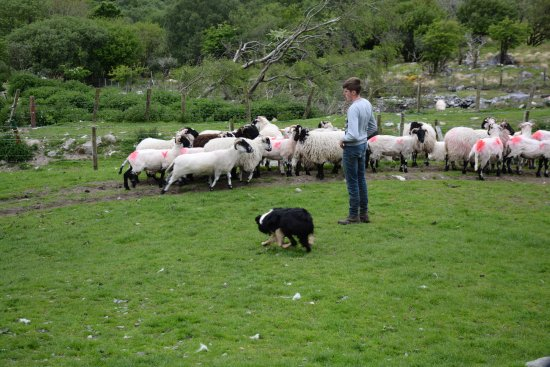Kissane Sheep Farm: Sheep, along with dog and trainer