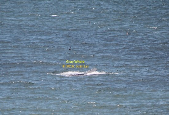 Pacifica, Kalifornien: Gray Whale