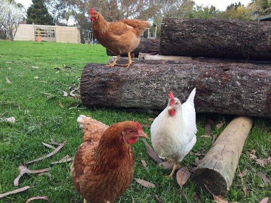 Ventnor, Australia: Free range chickens
